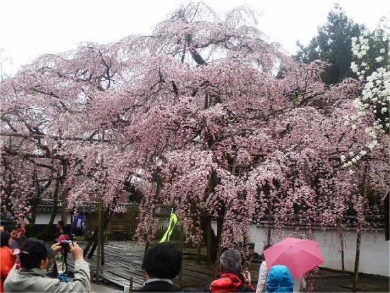 三宝院の太閤桜