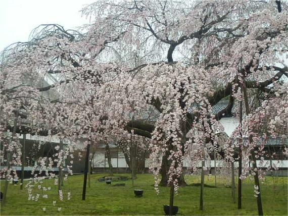 霊宝院の桜