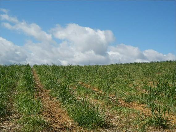 屋我地島のサトウキビ畑