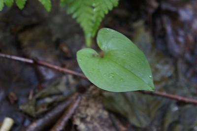 ニングルテラス ハートの葉っぱ