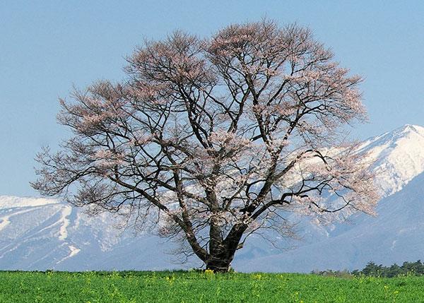 小岩井の一本桜(折れる前)