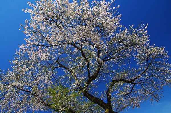 奥州市胆沢区若柳の桜