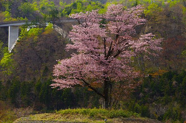 胆沢ダムの一本桜