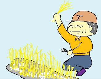 黄ニラ収穫