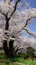 リオン株式会社内桜3