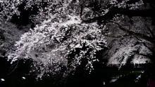 野川の夜桜1