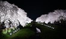 野川の夜桜3