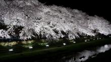 野川の夜桜5