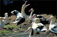 アホウドリの群れ