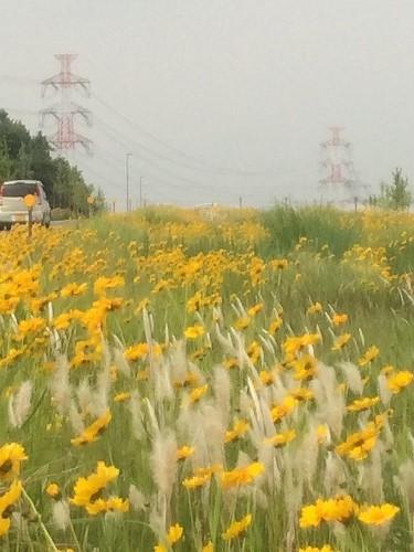 黄色い花2015 (1)