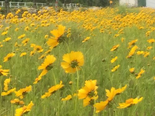 黄色い花2015 (3)