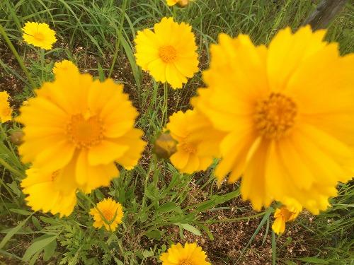 黄色い花2015 (4)