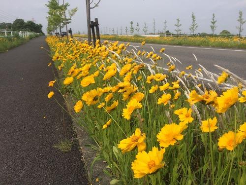 黄色い花2015 (6)