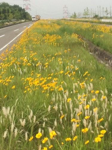 黄色い花2015 (7)