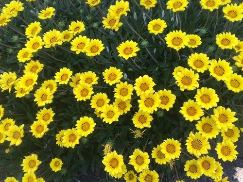 黄色い花2015 (8)