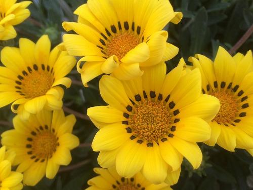 黄色い花2015 (9)