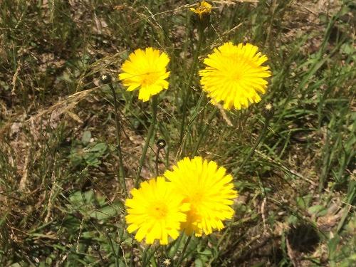 黄色い花2015 (12)