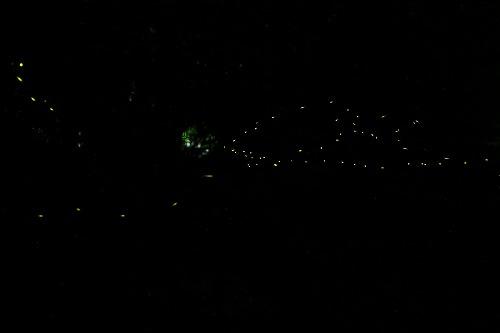 2015相生山ヒメボタル  (7)