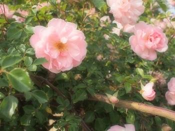 薔薇園20150517-2