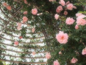 薔薇園20150517-3