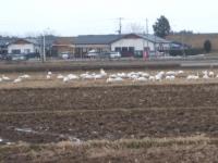 白鳥003