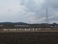 白鳥008