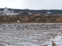 白鳥が居る近くには038