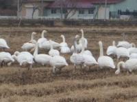 白鳥021