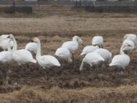 白鳥019