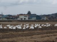 白鳥018