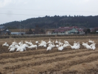 白鳥017