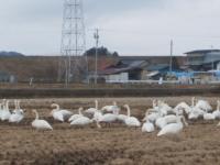 白鳥014