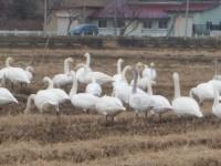 白鳥022