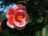 18回椿祭り2015-02-15-161