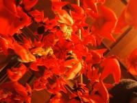 千厩雛祭り2015-02-15-090