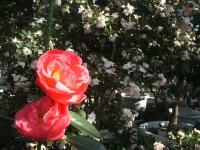 18回椿祭り2015-02-15-197