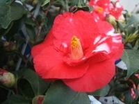 18回椿祭り2015-02-15-203