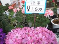 18回椿祭り2015-02-15-227