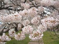 一関市役所千厩支所2015-04-17-033