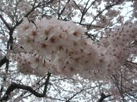 一関市役所千厩支所2015-04-17-029