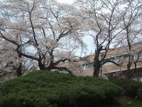 一関市役所千厩支所2015-04-17-042