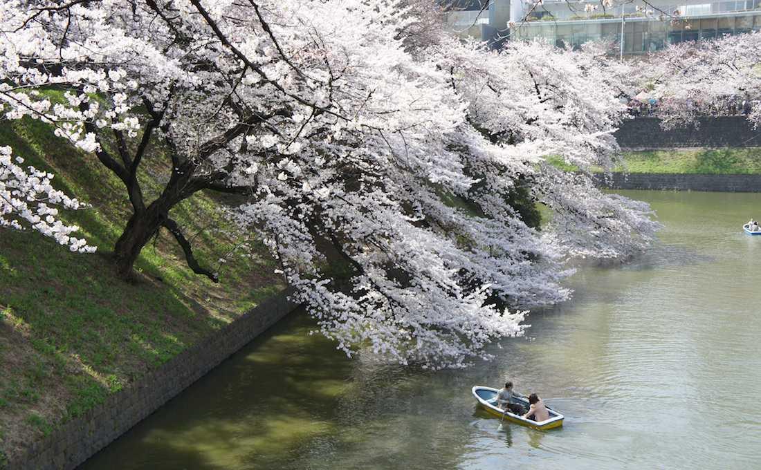 【桜の名所】 東京 千鳥ヶ淵で桜を見てきた(昼ver)