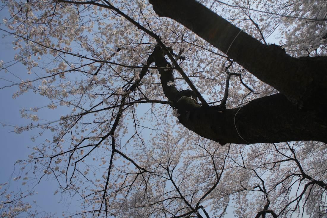千鳥ヶ淵の桜 千鳥ヶ淵緑道