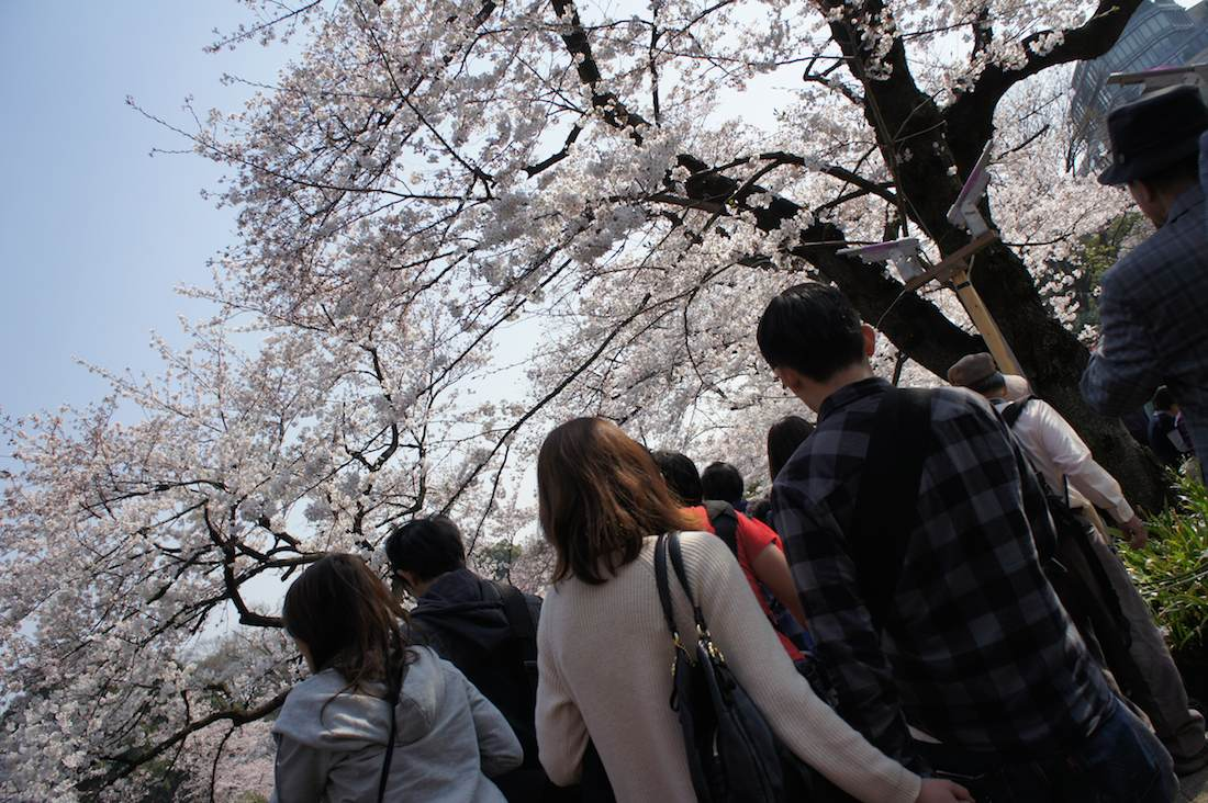 千鳥ヶ淵の桜 千鳥ヶ淵緑道はデートコースに最適