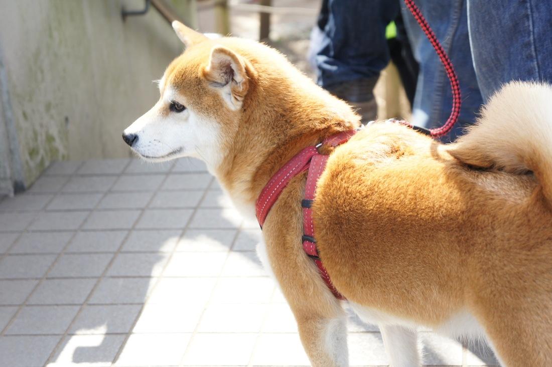 千鳥ヶ淵の桜 千鳥ヶ淵緑道には犬もいました