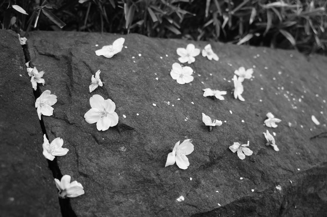 千鳥ヶ淵の桜の花びら