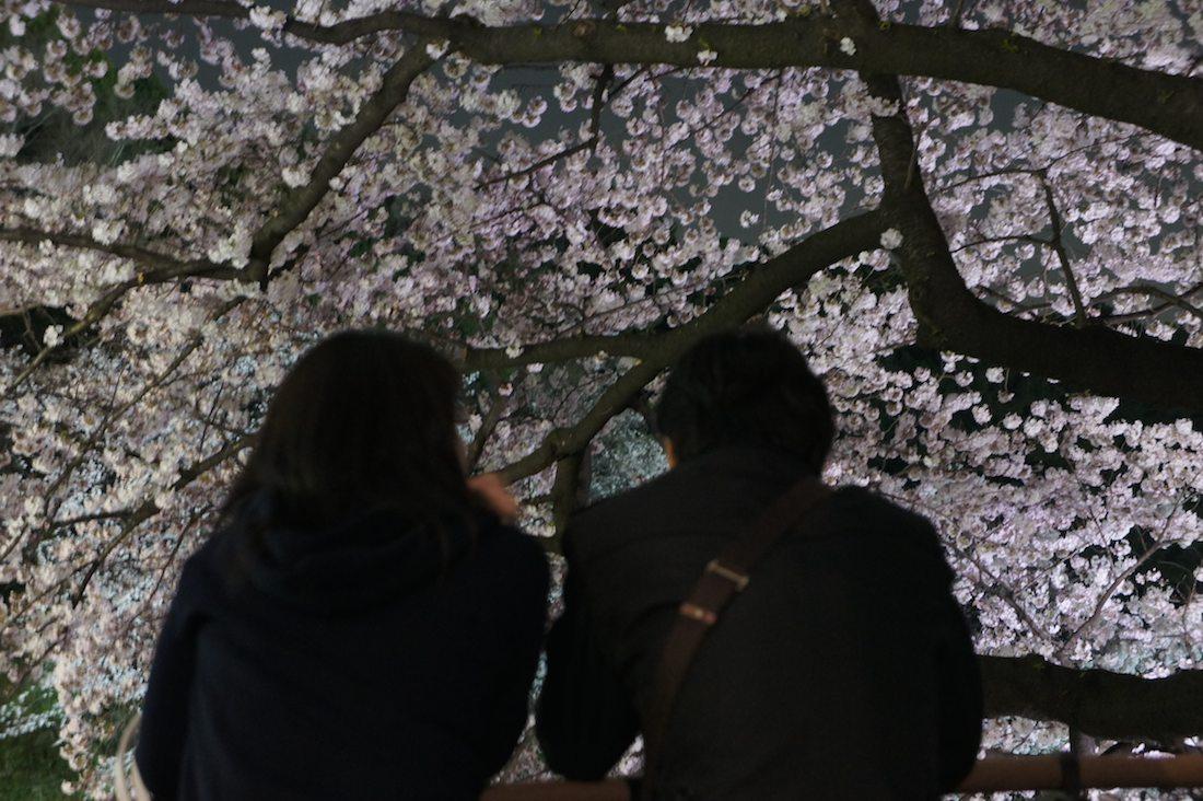 千鳥ヶ淵緑道の夜桜を見る若いカップル