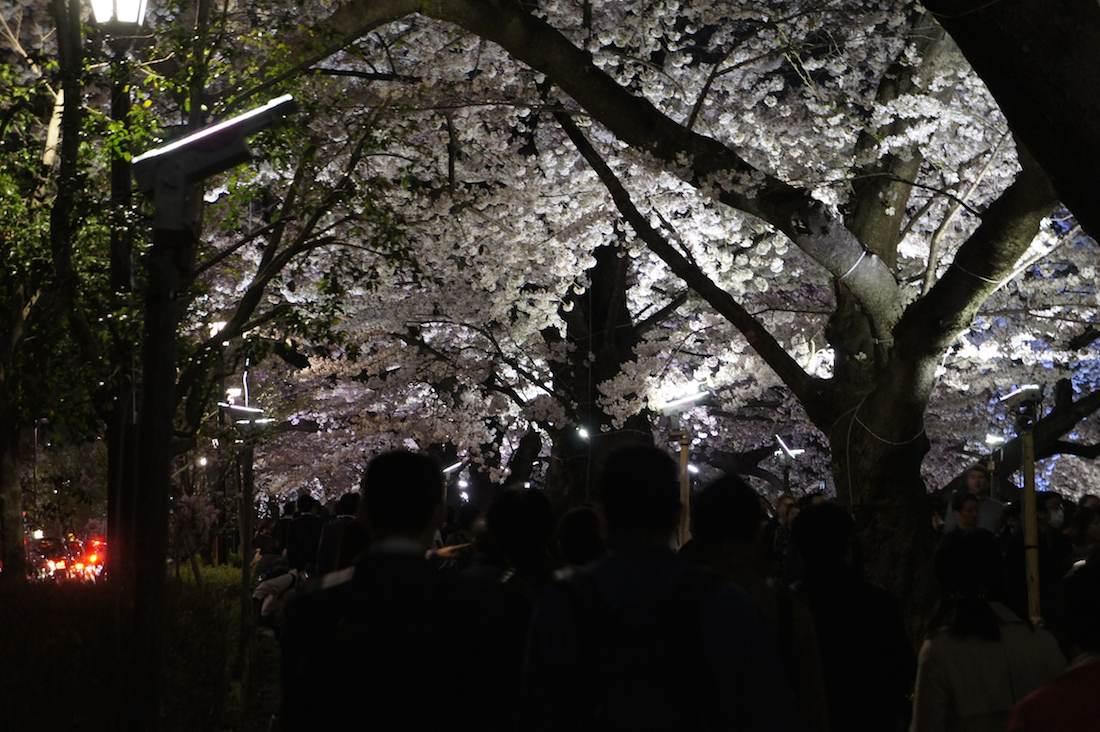 千鳥ヶ淵緑道の夜桜