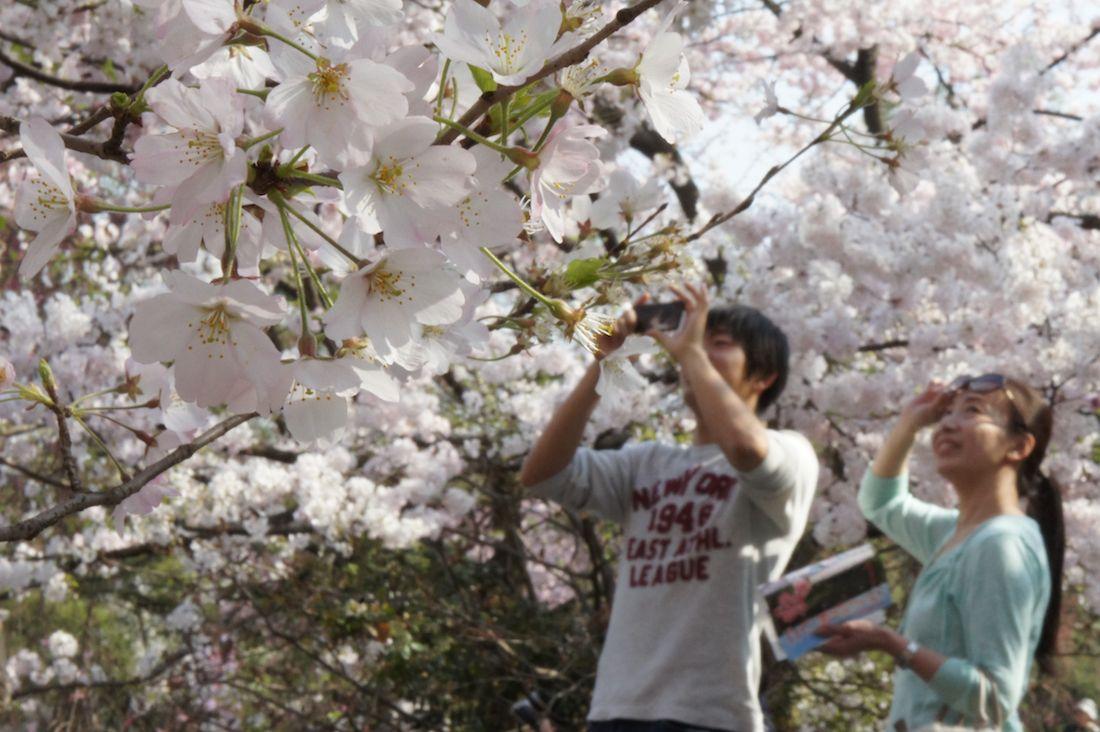 国立劇場の桜は「低い」