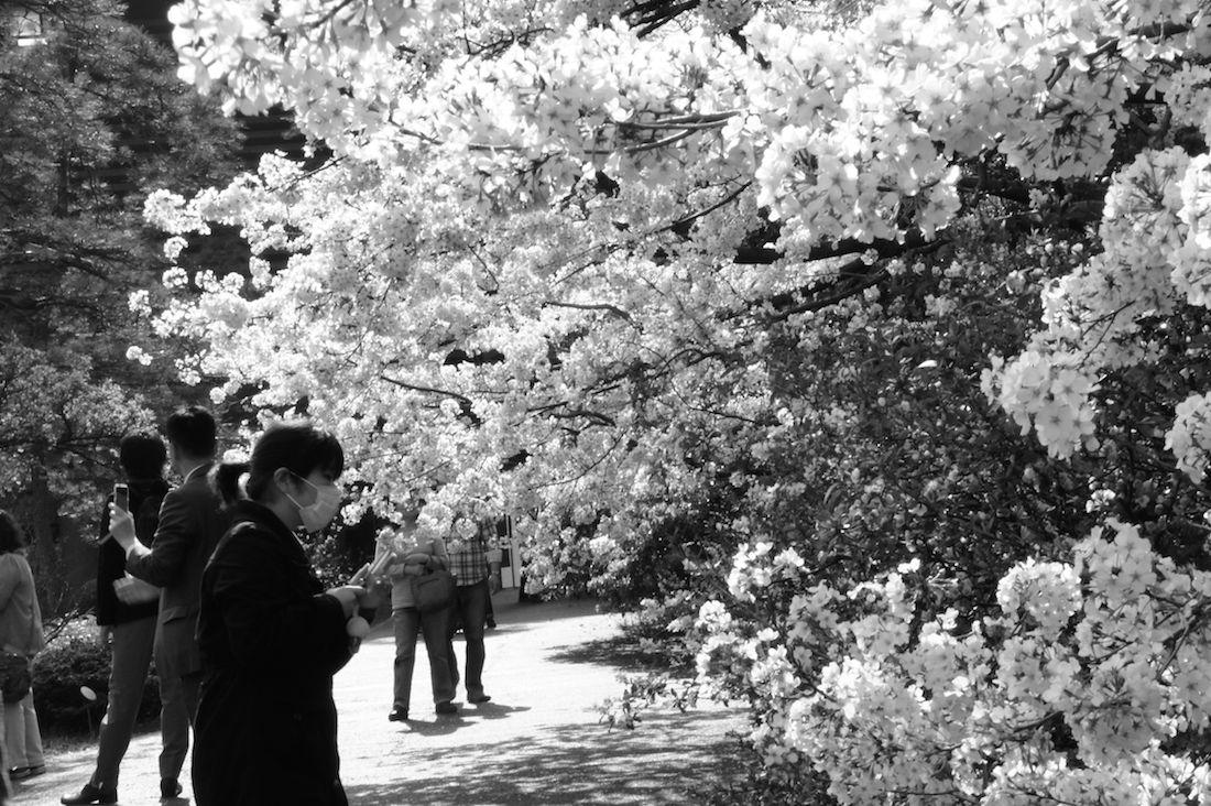 近寄れる国立劇場の桜